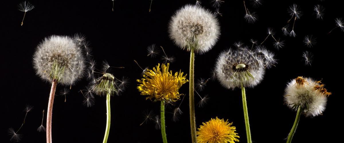 Dandelions producing pollen