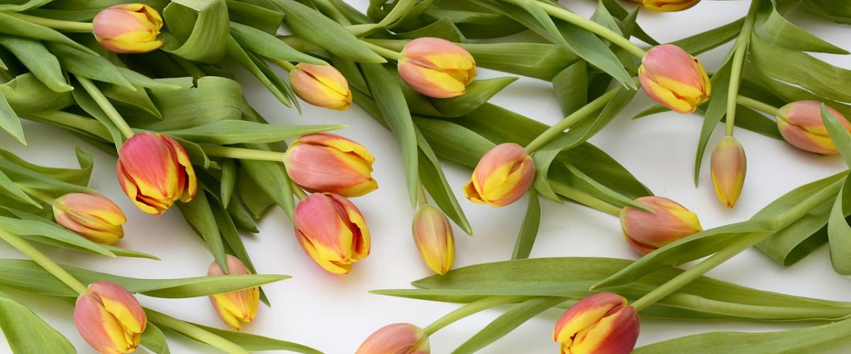 Orange/yellow tulips on a white background
